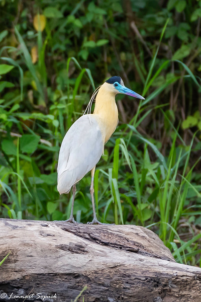 Capped Heron Manu Wildlife Centre