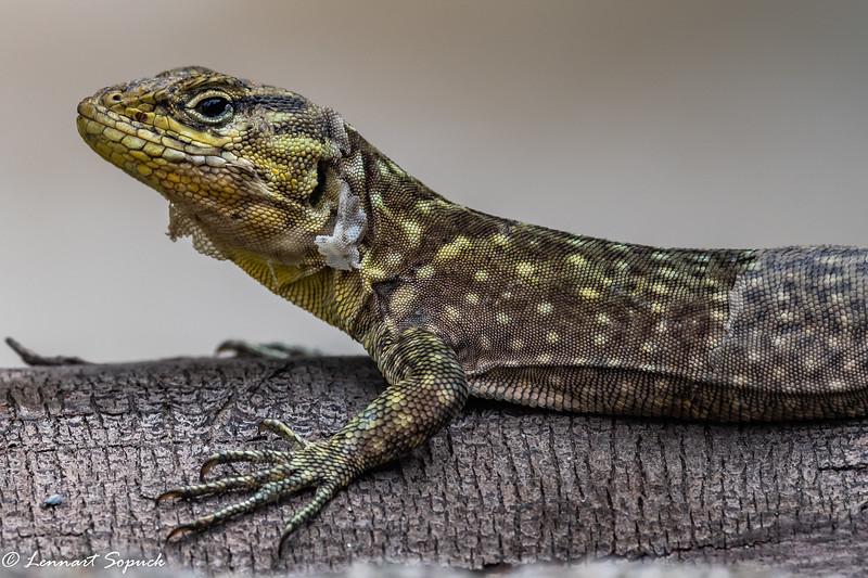 Lizard at Machu Picchu Pueblo (Aquas Calientes)