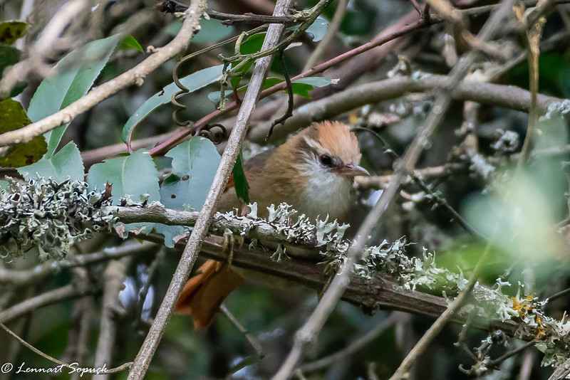 Creamy-crested Spinetail endemic in high Andes