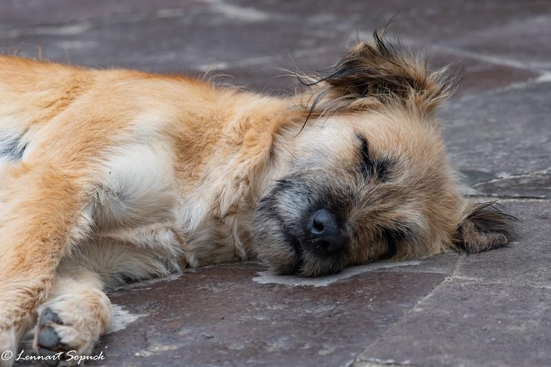Street dog sleeping among the crowds at Machu Picchu entrance