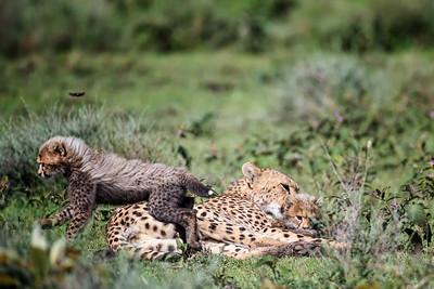 Cheetah family time