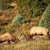 Rocky Mountain 2016: Elk Rut