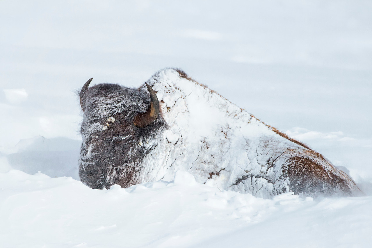 Bison in the Snow .. Yellowstone