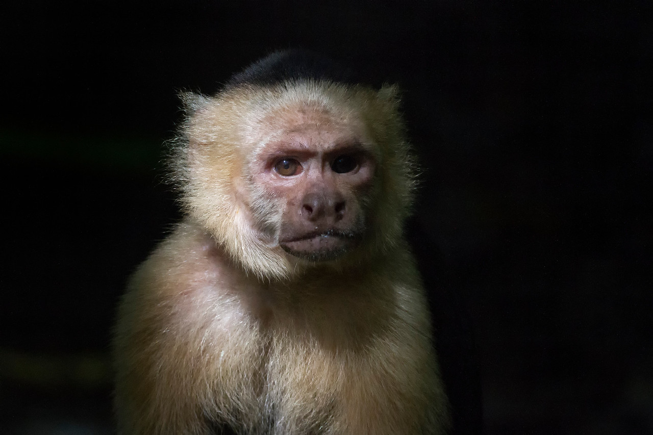 Capuchin in Sunbeam.. Costa Rica