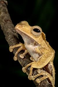 Borneo Eared Frog,  Polypedates otilophus