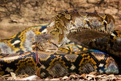 Reticulated Python,  Python reticulatus