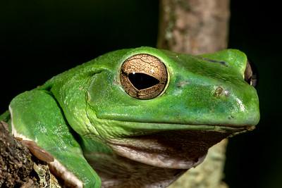 Chinese Gliding Frog,   Rhacophorus dennysi