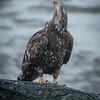 Eagle on Eldred Rock