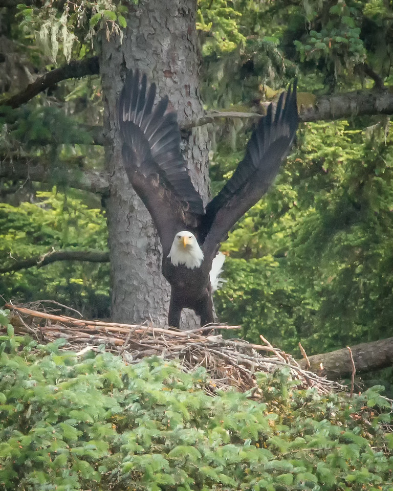 "Spent some time patiently watching the nest on the Chilkoot, waiting for something to happen. Patience paid off when mom got up off the nest and stretched her wings for a ""stroll"" around. Then I went and caught a lot of fish. Saw bears that night too. What a day! Haines, Alaska"