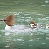 """God could not be everywhere, so he created Mothers."""" -Rudyard Kipling A mother Common Mergansers gives her newly hatched chicks a lift along the Chilkoot River; Haines, Alaska"""