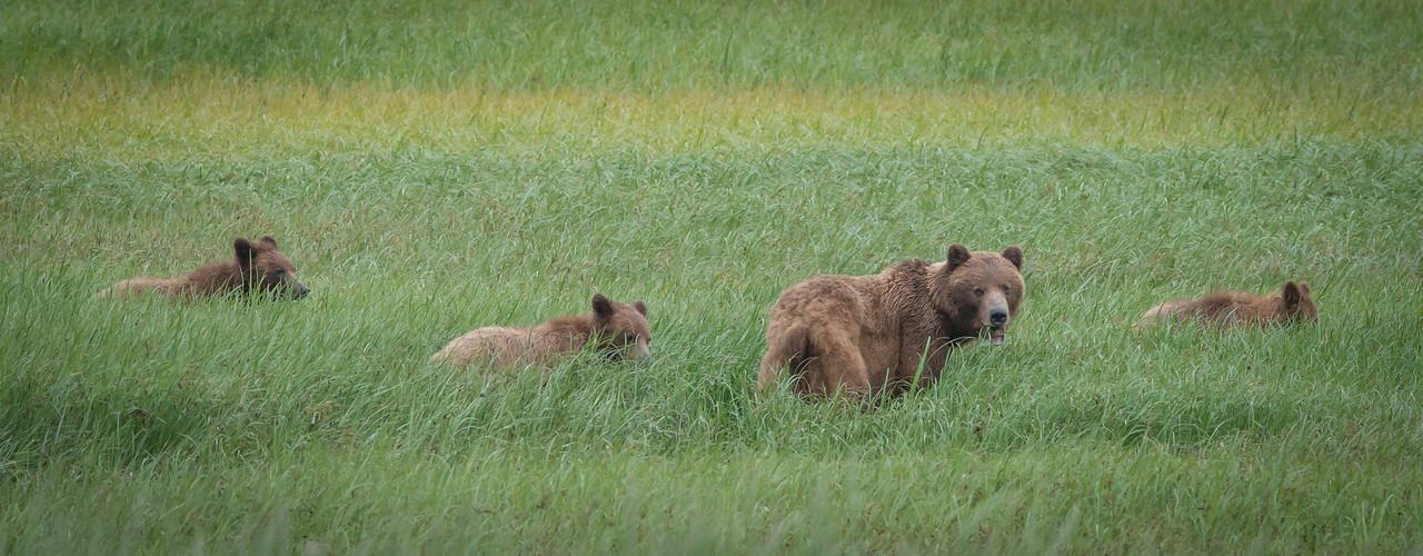 Our new star attraction on the Chilkoot ... a relatively new-to-the-area sow and her three yearling cubs, making evening appearances.