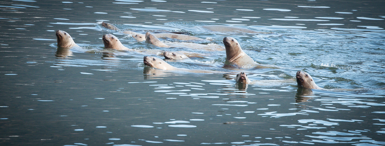 Stellar Sea Lions in search of hooligan