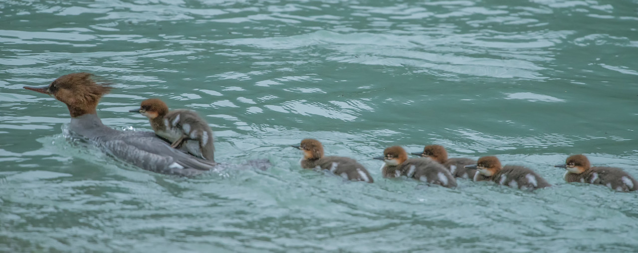 Mama merganser and her brood