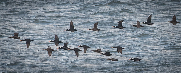 The scoters are busy running up and down, looking for goodies. We are all looking for the hooligan .. where are they? Sea lions want to know. Scoters are a great example of collective consciousness. I am not sure there is anything one could call an alpha-scoter.