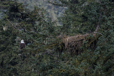 Another eagle gearing to the nest. On the Chilkoot River, across from Deer Rock. The eagle was in the nest when I pulled up, but played me when I got the camera set up. Both nests on the Chilkoot are active again this year.
