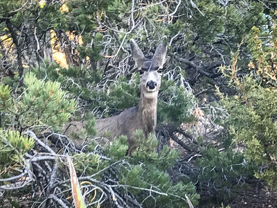 Horrible iShot of a mule deer we came across on our walk along the south rim trail east of Hermit's Rest.
