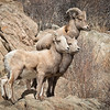 We were lucky to spot these guys. Cruising down the Colorado highway, saw an animal walking along the side of the road was larger than a dog and smaller than a moose. Thought it might be a sheep, sure enough. Found a collection of these critters up on the rocks. Don't they blend in well?