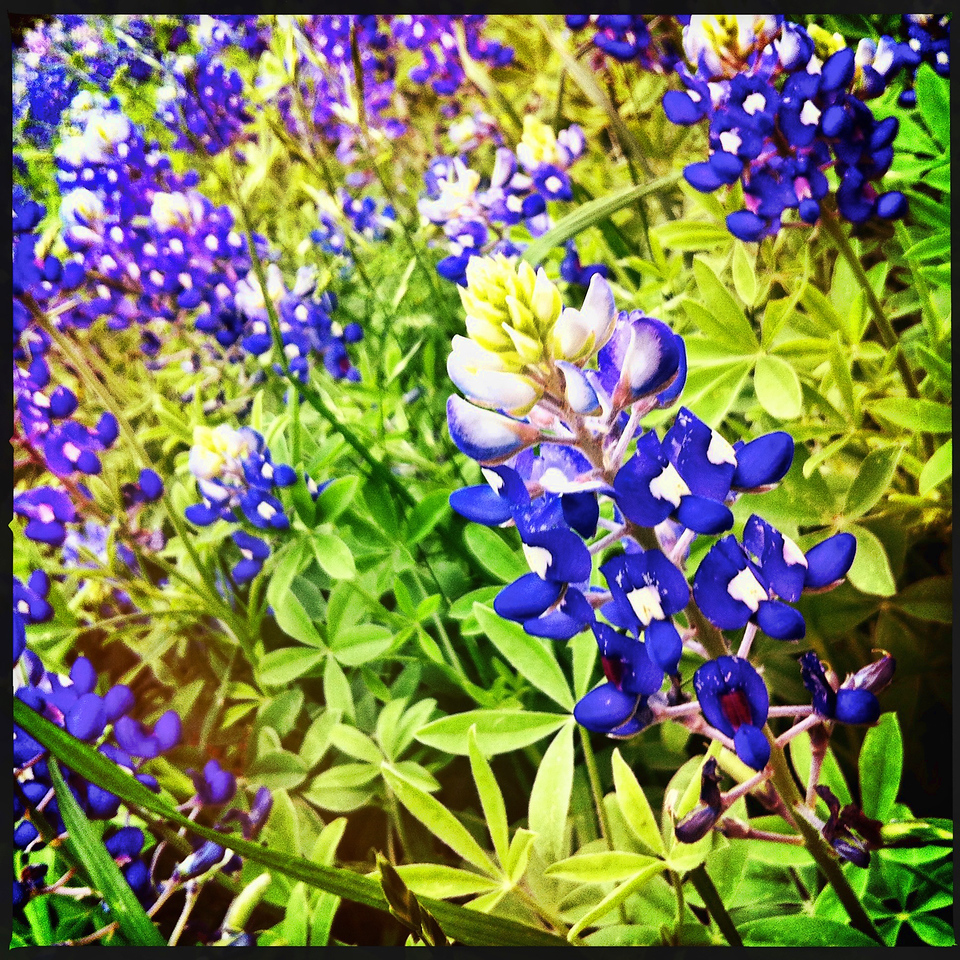 "03-19-2012: ""Spring I"" ... the first of the series #Spring #iphoneography , a Texas Bluebonnet field"