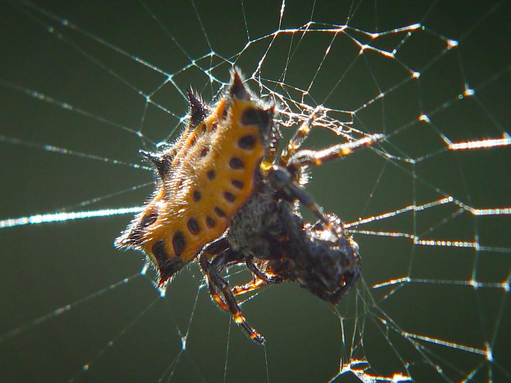 Kyte Spider Feeding