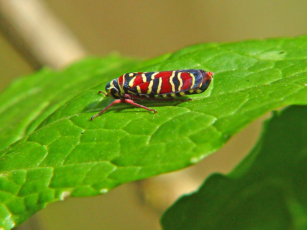 Colorful Leafhopper