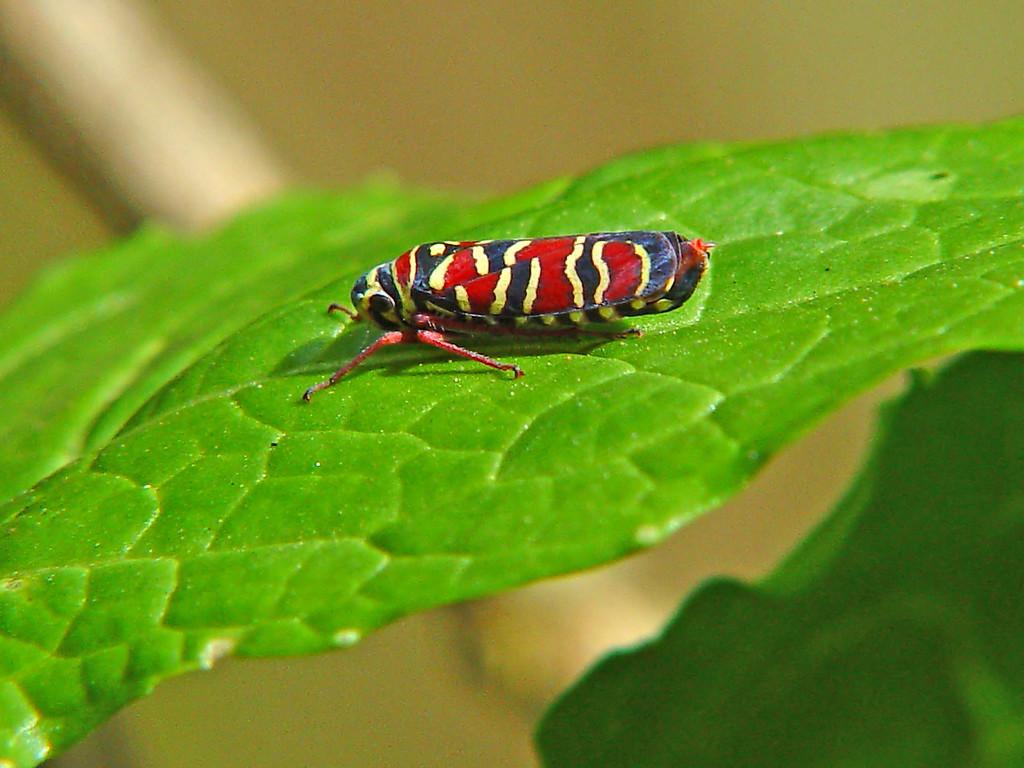 Colorful Leafhopper