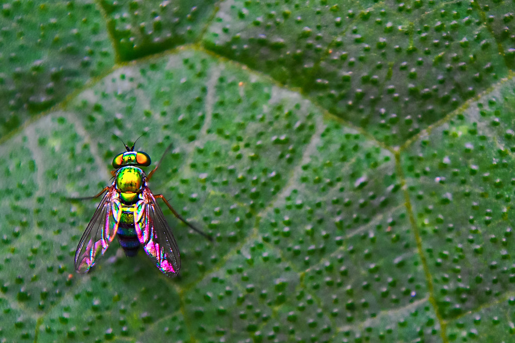 "07-21-2012 ""Galaxian!""<br /> <br /> When I found this tiny fly my first thought was ""Galaxian!""  For those of you young enough not to know what I am talking about here is a link: <a href=""http://en.wikipedia.org/wiki/Galaxian"">http://en.wikipedia.org/wiki/Galaxian</a><br /> <br /> I just could not avoid relating to that old videogame since this fly has all the right points going for it: perfect shape, metallic and lively colors... It was a real-life representation of the enemies.<br /> <br /> On a side note, it is amazing what nature can give us: this tiny package is so beautiful and complex that is a little scary!"