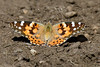 Painted Lady-2496