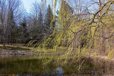 Weeping willow-1030718