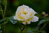 Yellow rose-4845