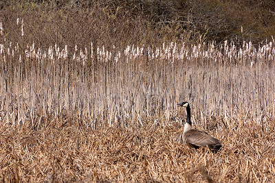 CAGO and cattails-1030715