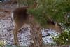 Deer in back yard-1120834
