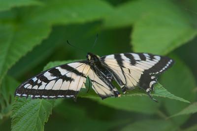 Swallowtail-6224