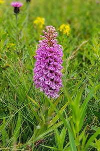 Brier Purple-fringed Orchid-160423