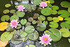 Pond lillies-2159