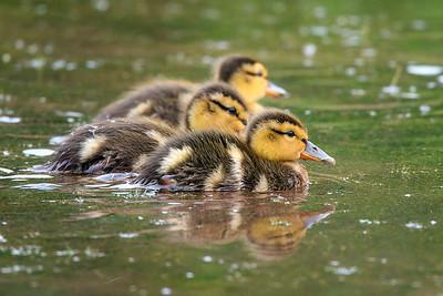 Mallard ducklings-6234