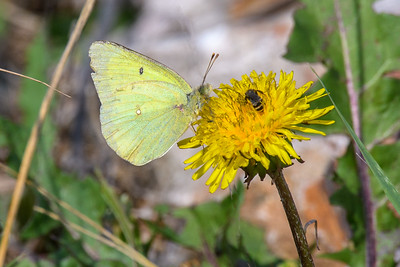 Clouded sulphur and Bee-5164