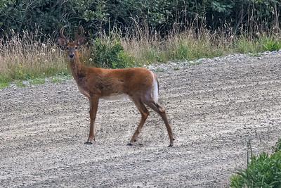 Deer-4736