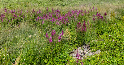Brier Purple Loosetrife-134029