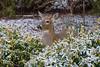 Deer in back yard-1120830