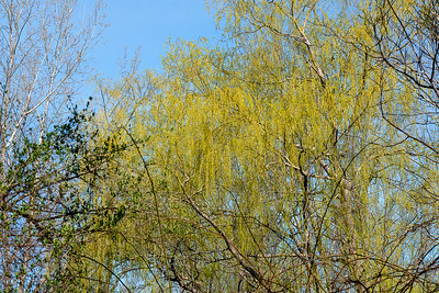 Weeping willow-1030720