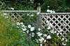 Roses on trellis-0475