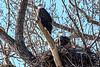 BAEAs at nest-7992
