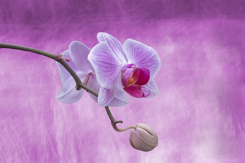 HighLight_Nelson-009-0097_Orchid _colour_layer