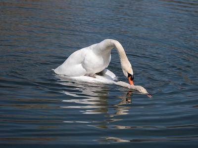 Swans @ Bayfront Park_1120312