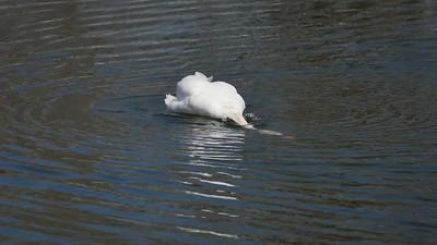 Swans @ Bayfront Park_1120340