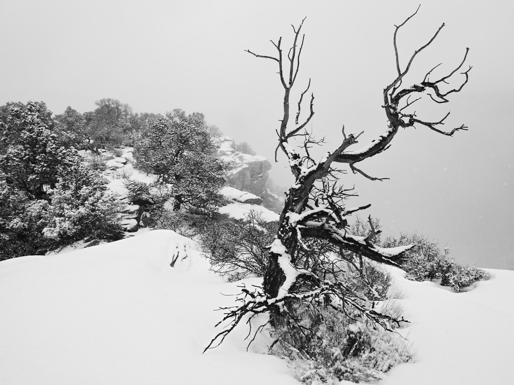 Dying tree in snow