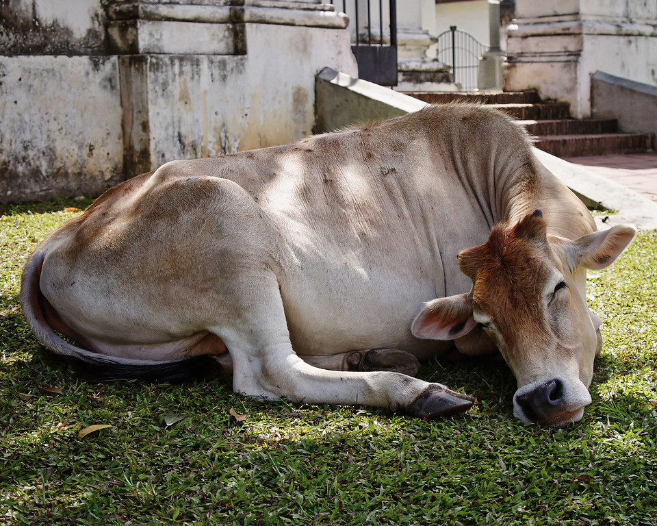Snoozing Cow