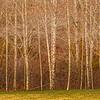 alder forest ...