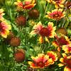Jo Bell Flower
