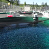 A rearing tank full of sockeye at the Saltwater Park Sockeye Hatchery.